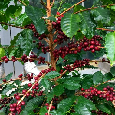 Pictured here are arabica fruits, which are dried and later create coffee beans.