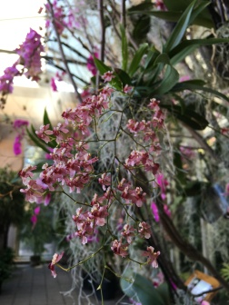 This year's Orchid Daze displayed orchids in their natural settings among tree branches and hanging, epiphytic mosses.