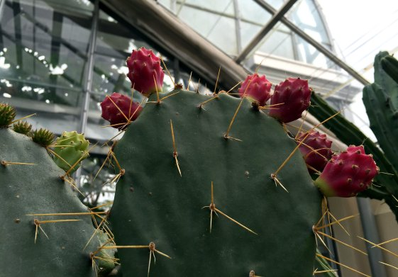 Opuntia, or nopales, are cacti whose pads and fruit are edible.