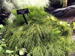 Whisk fern is native to all the major islands in Hawaii. It grows in both forests and urban areas.
