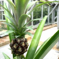 Few people know that pineapples grow from a special bromeliad native to South America.