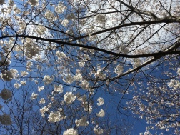 The cherry trees in the Atlanta Botanical Garden were also in bloom early this spring. Their cottony white flowers bring the clouds closer to ground level.