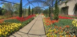 Cheekwood Botanical Gardens planted 100,000 tulip bulbs for this spring's Cheekwood Blooms.