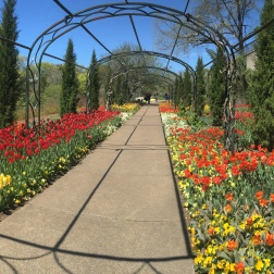 Cheekwood Botanical Gardens planted 100,000 tulip bulbs for this spring's Cheekwood Blooms.