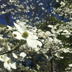 Dogwood trees were in bloom throughout the garden. Cheekwood has 14 species and 23 cultivated dogwood varieties.