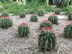 Devil's Tongue barrel cacti grow in fiery lines. Another cactus to add to the plant colony.