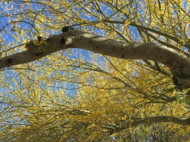 The palo verde tree has green bark and blooms yellow flowers in spring. Because the tree has few leaves, the chlorophyll in the bark helps the plant perform photosynthesis.