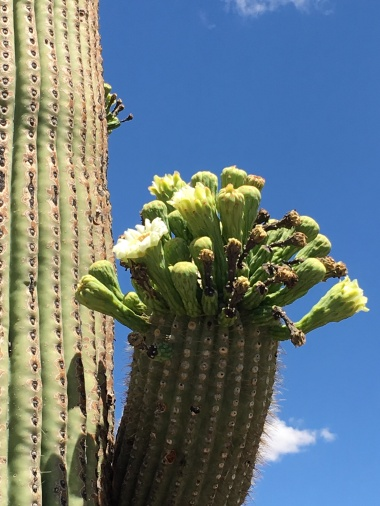 Saguaro cactus flowers just beginning to bloom.
