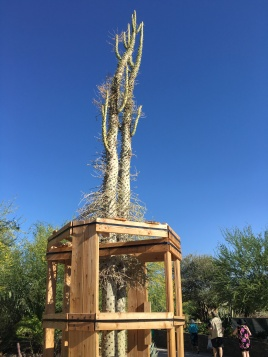 """The Boojum tree is the English name for the cirio. It was named after the boojum in Lewis Carroll's """"The Hunting of the Snark."""""""