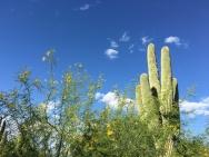 Saguaro cactus and palo verde are Arizona's most iconic plants.