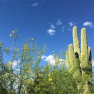 Saguaro cactus and palo verde are Arizona's most iconic plants.