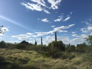 The Desert Botanical Garden is also home to the Sonoran grassland where long grasses and Saguaro cacti coexist.