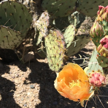 Opuntia cactus flowers and tuna in Saguaro National Park