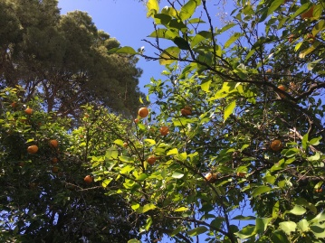 Towards the back of the garden were several sour orange trees. When the leaves are steeped, the tea is said to be good for the gall bladder and helps to curb anger.