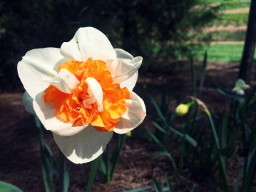 A double daffodil in bloom along the path towards the Burr Terrace Garden.