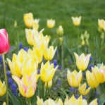 Butter yellow meets the pink tulip in the Windmill Island Garden