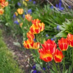 Tulips and muscari make a beautiful pair.