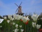 De Zwaan & the white tulips