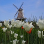 De Zwaan & the white tulips