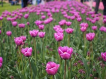 A row of Violet Beauty tulips