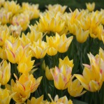 If sunshine could be a plant, it would be a tulip in the spring.