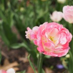 If I could be a tulip, I'd like to be of the pink peony variety.