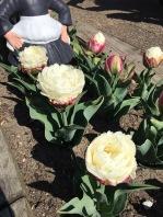 Ice Cream tulips in full bloom