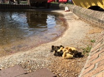 Baby ducks lined the canals of Neil's Dutch Village.