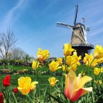 Tulips blowing in the wind on Windmill Island Gardens