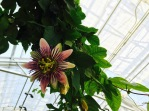 Passion flower in the Victorian Garden Parlour