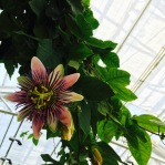 Passion flower in the Victorian Garden Parlour