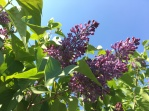 Lilac in bloom in the Farm Garden