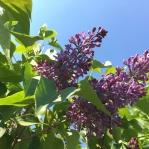 Lilac in bloom in the Farm Garden