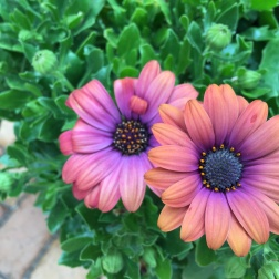 These African daisies reminded me of a sunset.