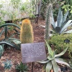 This is the top of the garden's Saguaro cactus that got too tall for the arid greenhouse.