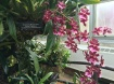 """Sharry Baby orchid is related to the orchid """"Redolence"""" I saw in the U.S. Botanic garden in Washington, D.C."""