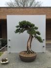 One of many perfect bonsai.