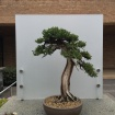 One of many perfect bonsai.