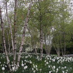 Nothing prettier than birch trees and daffodils.