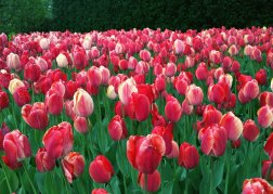 Even after Holland, Michigan I don't think I could ever get sick of tulips.