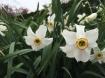 Daffodils along the path.