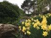 Daffodils in the Waterfall garden.