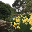 Daffodils in the Waterfall garden.