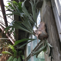 There were many Staghorn ferns in this conservatory.