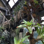 Bromeliads grow in the orchid house.