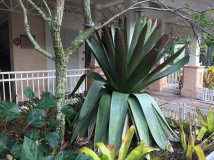 The goliath 6 foot tall bromeliad stopped me dead in my tracks.