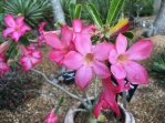 Another surprise in the cactus garden was this bright and happy Desert Rose.