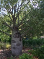 This is the Queensland Bottle Tree, which is named for its distinctly bottle-like shape.