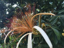 This is a Malabar Chestnut flower. This chestnut is grown in central and south america and can be eaten raw or roasted.