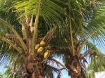 Coconut Malayan